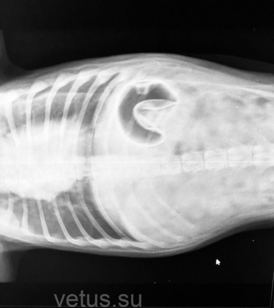 рентген инородного тела в ЖКТ собаки